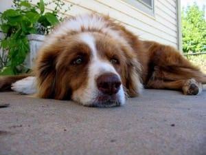 bored_dog-300x225